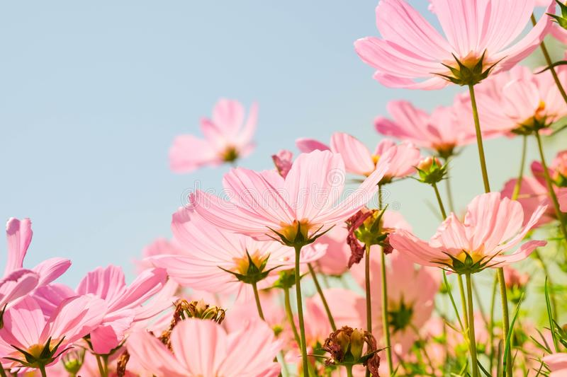 The beautiful cosmos flowers in the garden with the sunny day using as nature background and wallpaper stock photography