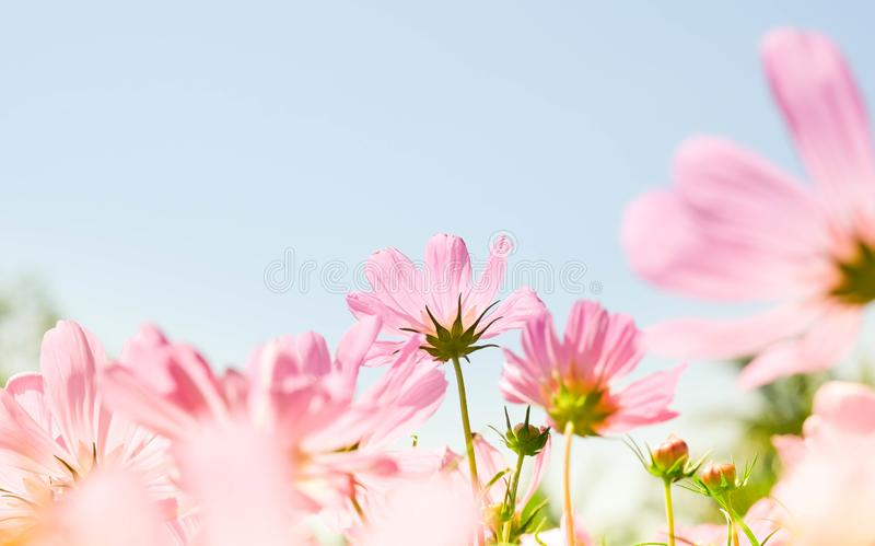 The beautiful cosmos flowers in the garden with the sunny day using as nature background and wallpaper royalty free stock images
