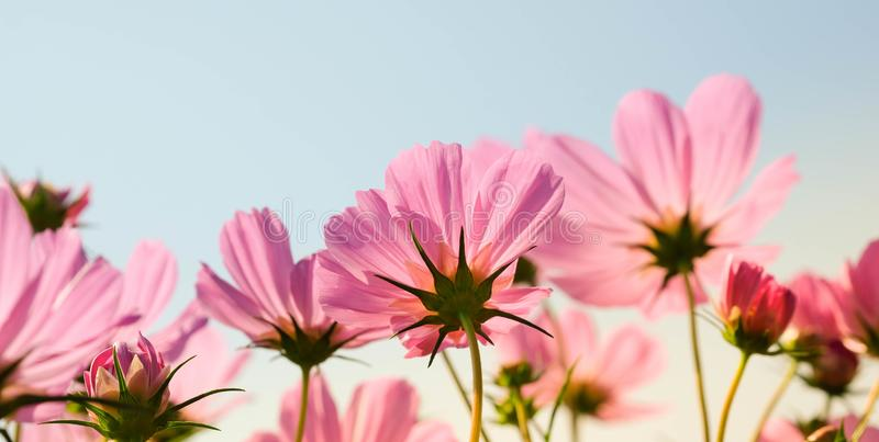 The beautiful cosmos flowers in the garden with the sunny day using as nature background and wallpaper stock image