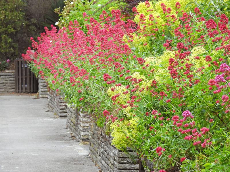Beautiful cottage border plants and flowers path leading to wooden gate. Photo of beautiful tall border garden plants and flowers growing over stone brick wall stock photography
