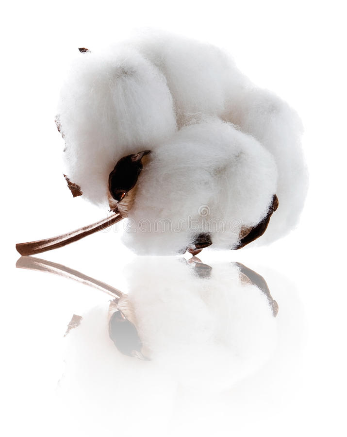 Beautiful cotton with reflection royalty free stock photo