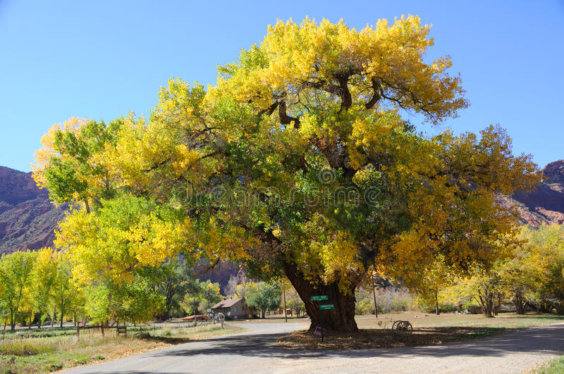 Beautiful Cottonwood Tree in Autumn royalty free stock photography