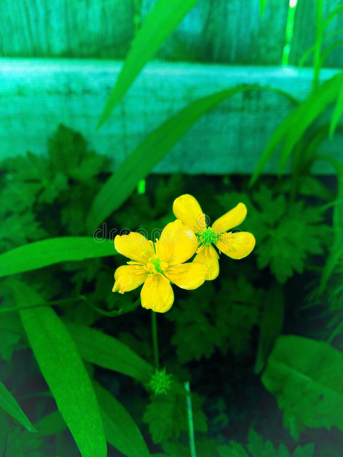 Beautiful, country buttercups royalty free stock photos