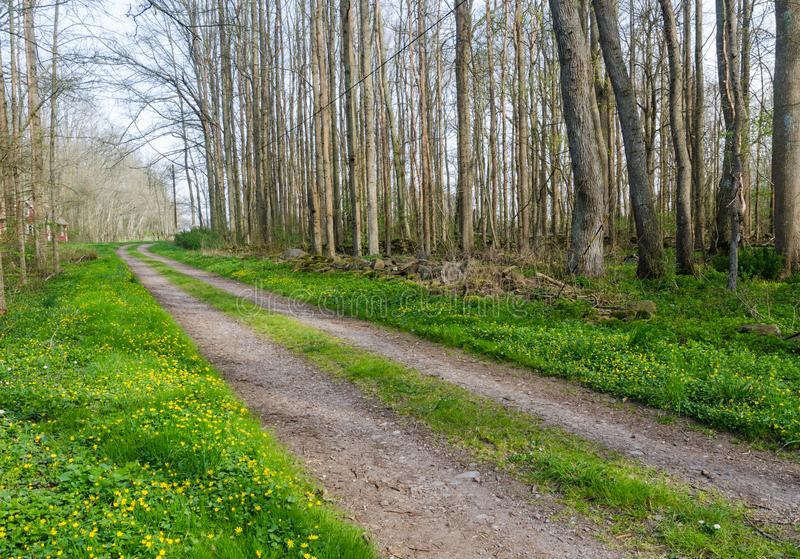 Beautiful country road through a decduous forest by springtime stock photography