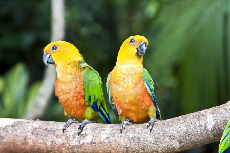 Beautiful couple of Jandaya Parakeet Parrot