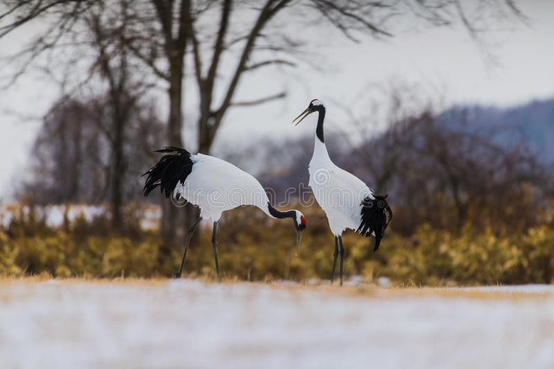 Red-crowned crane bird royalty free stock photo