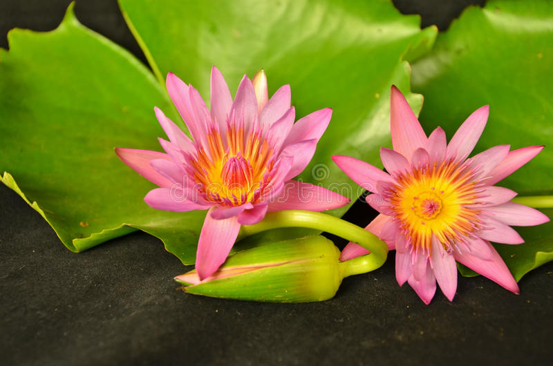 Beautiful couple water lily flowers royalty free stock image