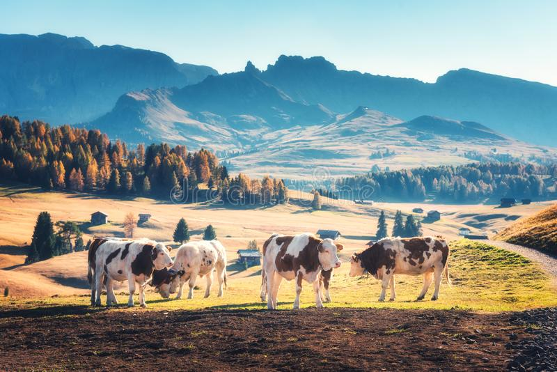 Beautiful cows and calves on the meadow with green grass. At sunset in autumn in Alps. Landscape with herd of cows in mountain valley, colorful trees on the royalty free stock photos