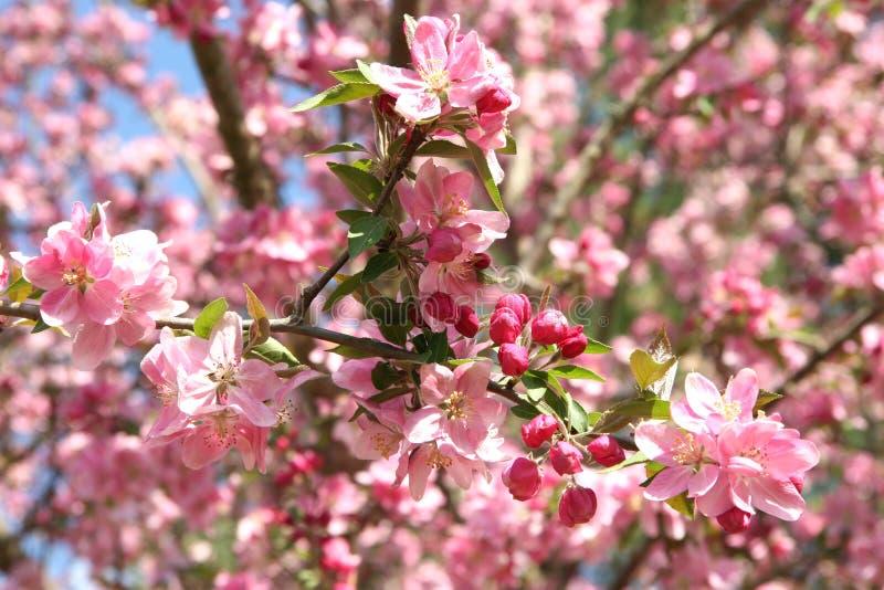 Download Beautiful Crabapple In Spring Stock Image - Image: 102131