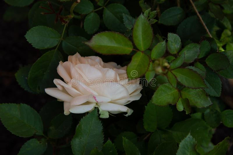 Beautiful cream rose in the garden, close-up on dark leaves background royalty free stock photo