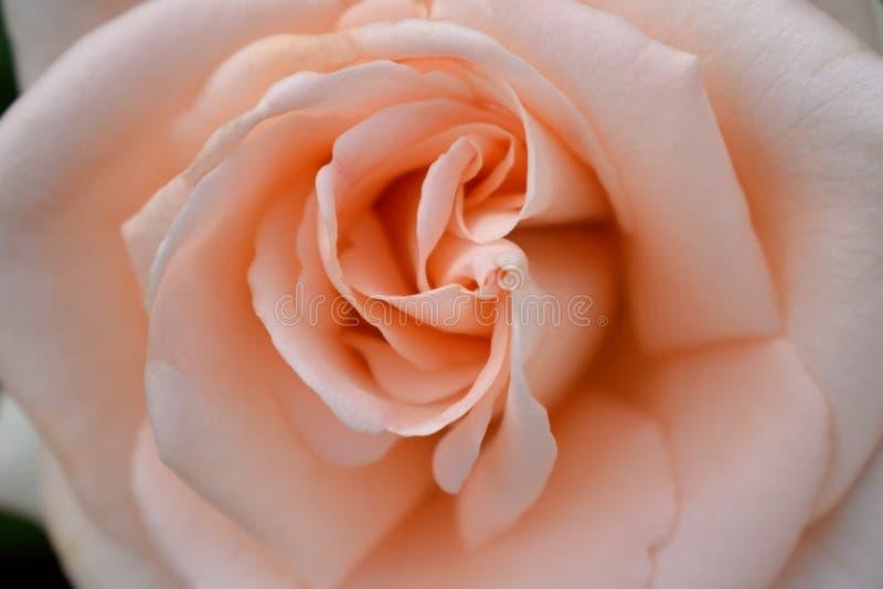 Beautiful creamy peach colored rose stock image