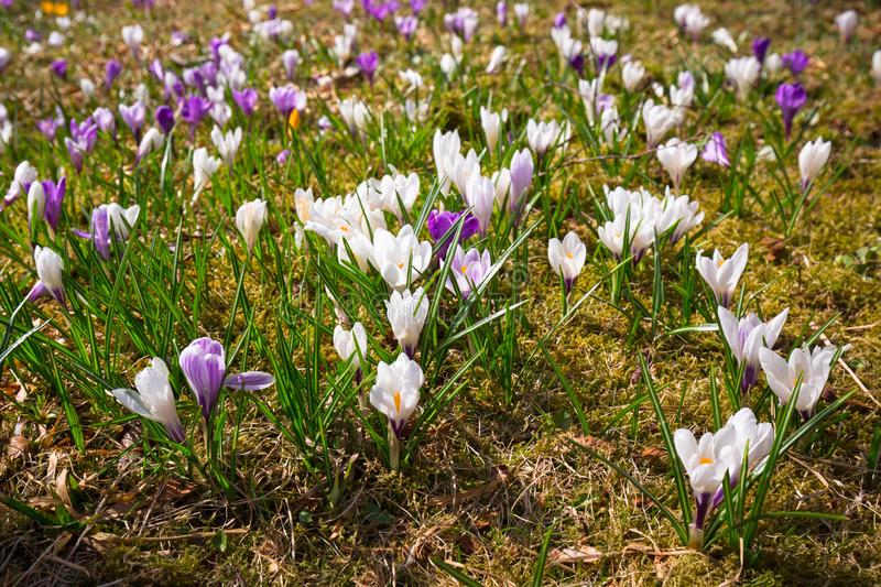 Beautiful crocus flowers blooming in the park of Alesund, Norway stock photos