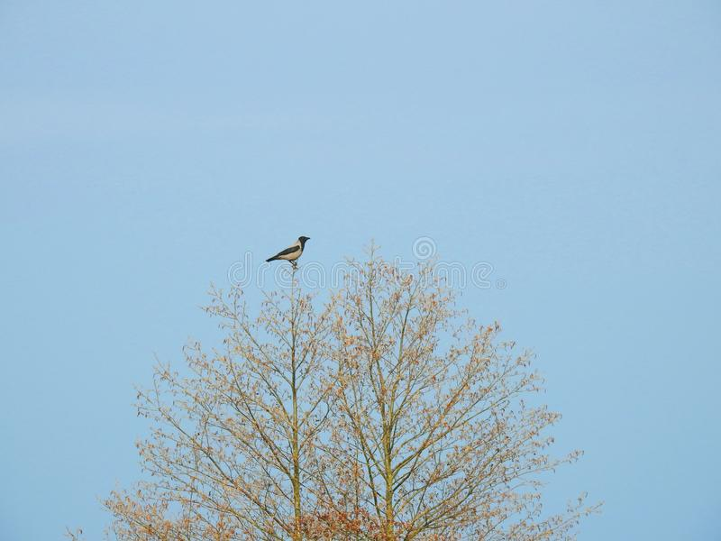 Crow bird on tree top in spring, Lithuania royalty free stock image