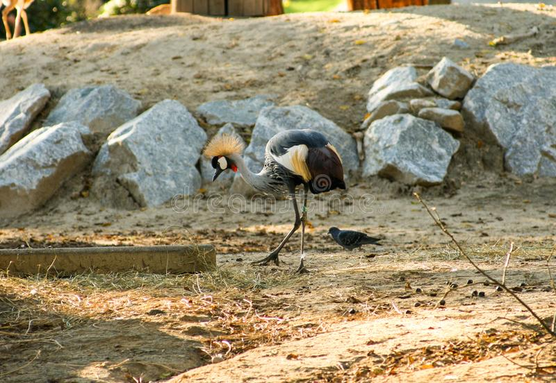 Beautiful crowned crane walking alone with rocks in the background royalty free stock images