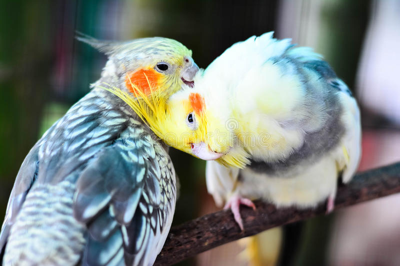Beautiful And Cue Lovebirds. Lovebird Is One Of Nine Species Of The Genus Agapornis That Are A Social And Affectionate Small Parrot royalty free stock image