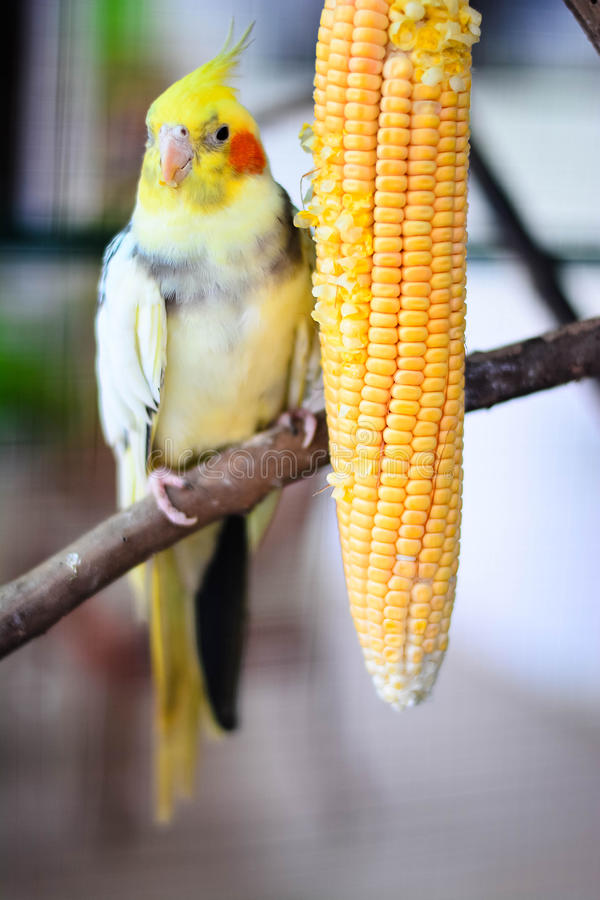 Beautiful And Cue Lovebirds. Lovebird Is One Of Nine Species Of The Genus Agapornis That Are A Social And Affectionate Small Parrot stock photography
