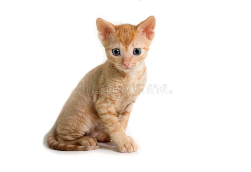 Beautiful curly-haired kitten Ural Rex sits right in front of the camera and looks forward, isolated. On a white background. Color Red royalty free stock photography