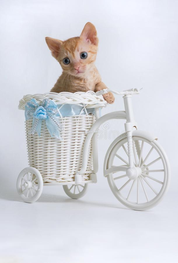 Beautiful curly kitten Ural Rex sits in a basket of a toy bike and looks sideways, isolated on a white background. Color Red royalty free stock photo