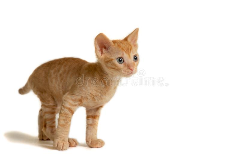 Beautiful curly Ural Rex kitten standing and looking forward, isolated on a white background. Red color royalty free stock photo