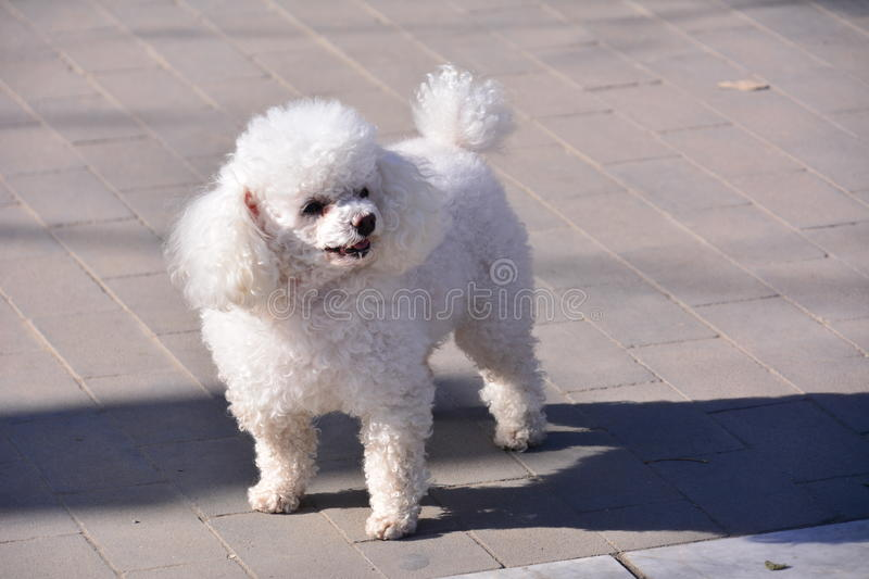 Beautiful curly white dog. This is a beautiful curly white dog, it saw someone taking pictures, put out a beautiful posture, very cute royalty free stock photos