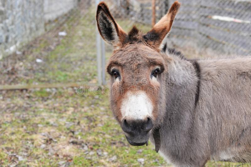 Beautiful cute animal donkey gray. On a farm in nature royalty free stock photo