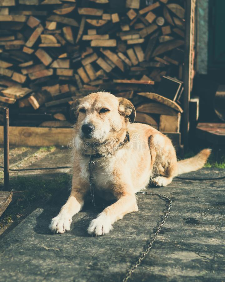 Beautiful cute big dog mongrel on a chain, guards house and yard. Lives in a booth stock photography