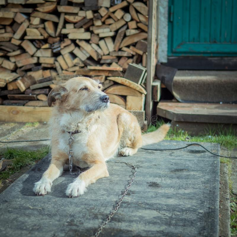 Beautiful cute big dog mongrel on a chain, guards house and yard. Lives in a booth royalty free stock photo