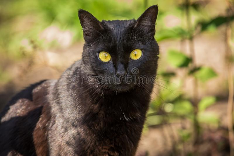 Beautiful cute black cat portrait with yellow eyes and long mustache in nature stock photo