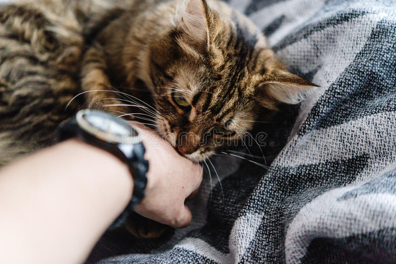 Beautiful cute cat playing with woman hand and biting on stylish. Bed with funny emotions stock photo