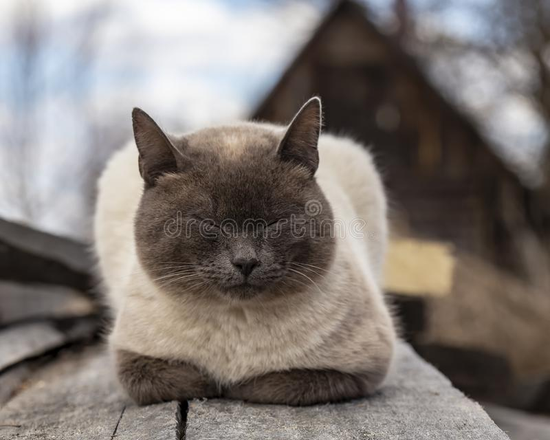 A beautiful, cute cat is sleeping hiding its paws under its chest, on old wooden boards, against the background of a barn, on a stock photography