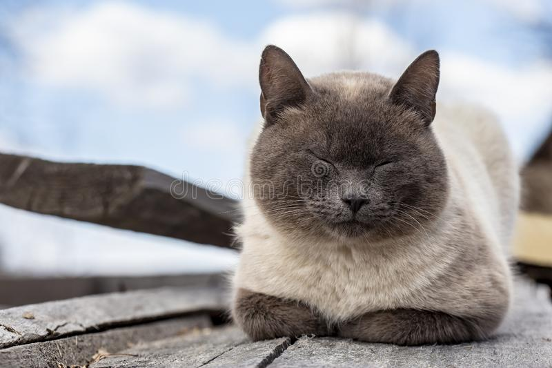 A beautiful, cute cat is sleeping hiding its paws under its chest, on old wooden boards, on a spring day, in the countryside stock photos