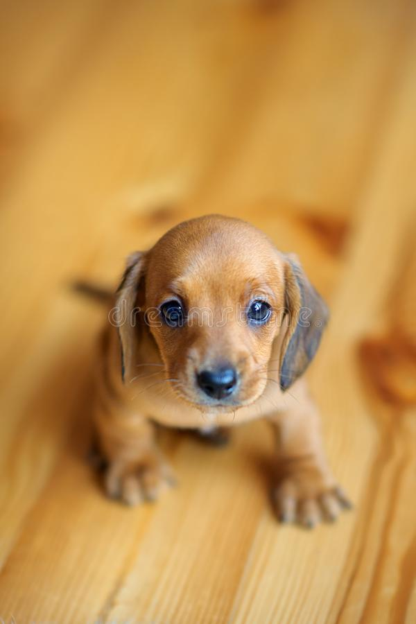 Beautiful cute dachshund puppy sitting on the floor stock photography
