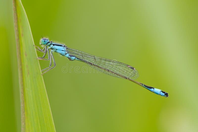 Beautiful dragonfly Ischnura elegans. Blue tailed Damselfly royalty free stock image