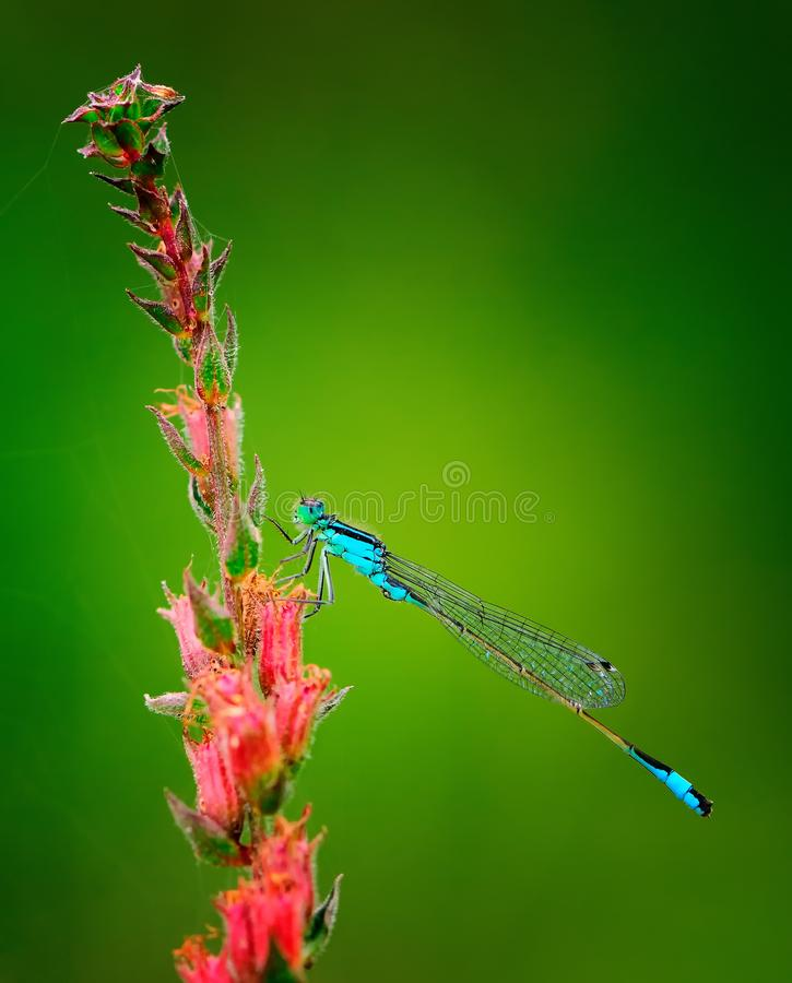 Beautiful dragonfly Ischnura elegans. Blue tailed Damselfly royalty free stock images