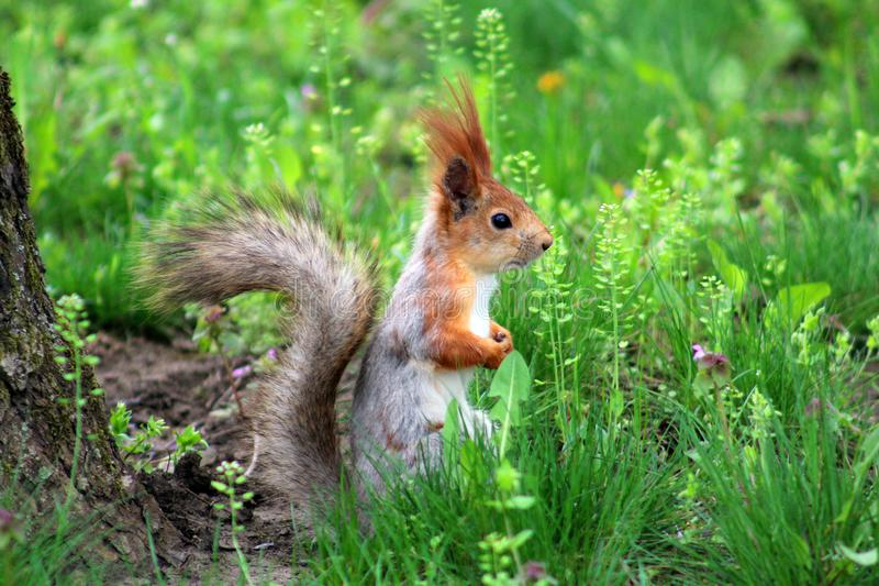 Beautiful fluffy squirrel. royalty free stock photography
