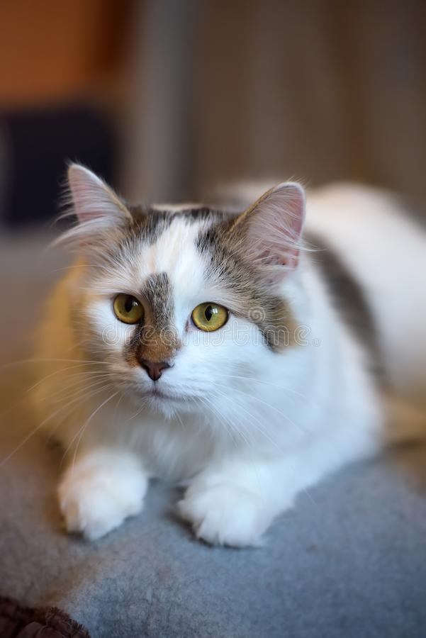 Beautiful cute fluffy white cat with a spot. On the nose stock image