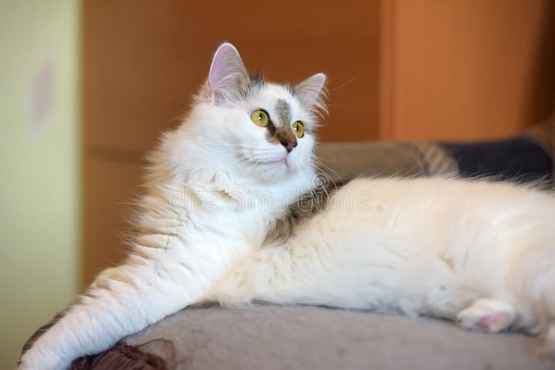 Beautiful cute fluffy white cat with a spot. On the nose royalty free stock image