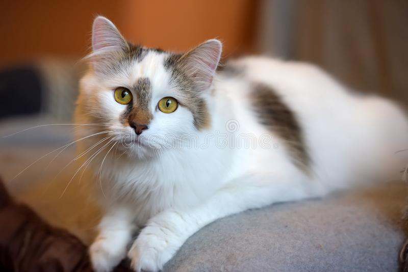 Beautiful cute fluffy white cat with a spot. On the nose stock photo