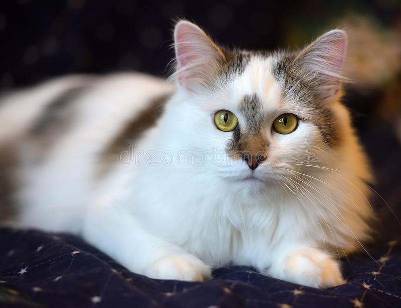 Beautiful cute fluffy white cat with a spot. On the nose royalty free stock images