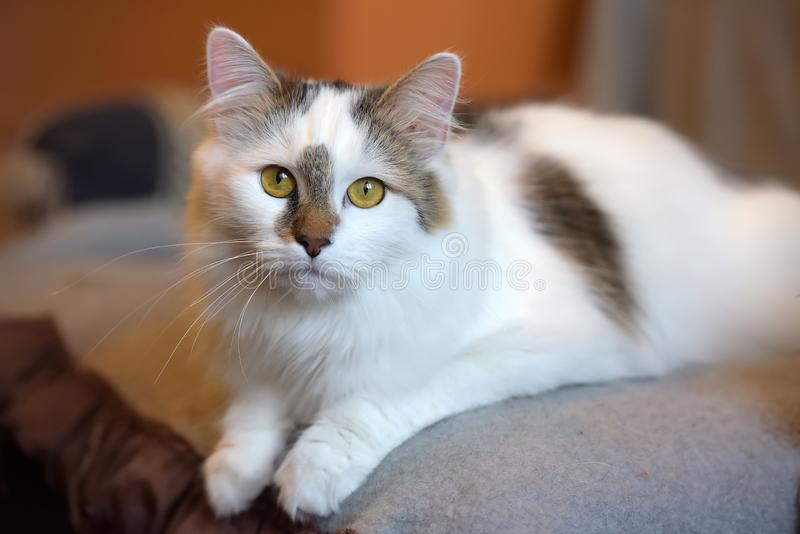 Beautiful cute fluffy white cat with a spot. On the nose stock photography