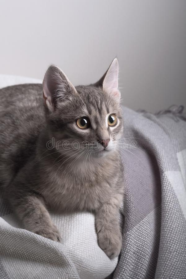 Beautiful cute gray cat sitting on the sofa. royalty free stock photography