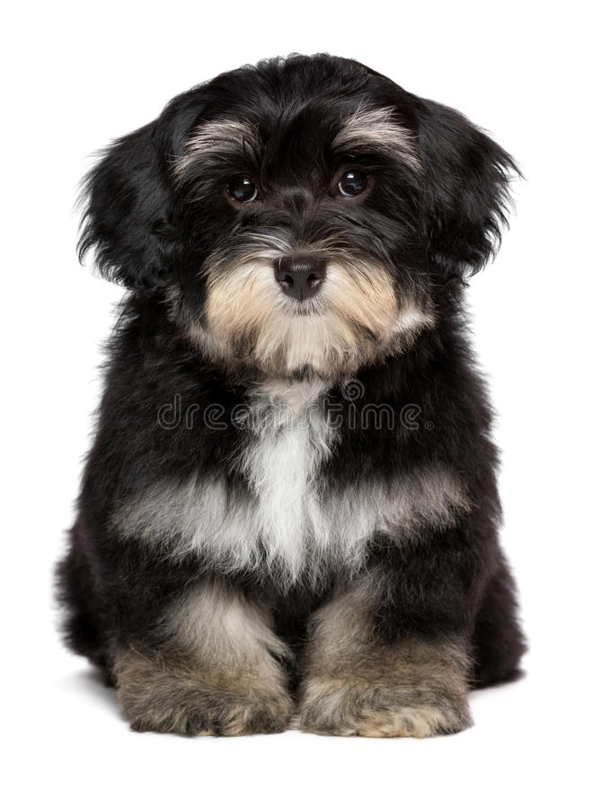 Beautiful cute little havanese puppy is sitting frontal royalty free stock photography