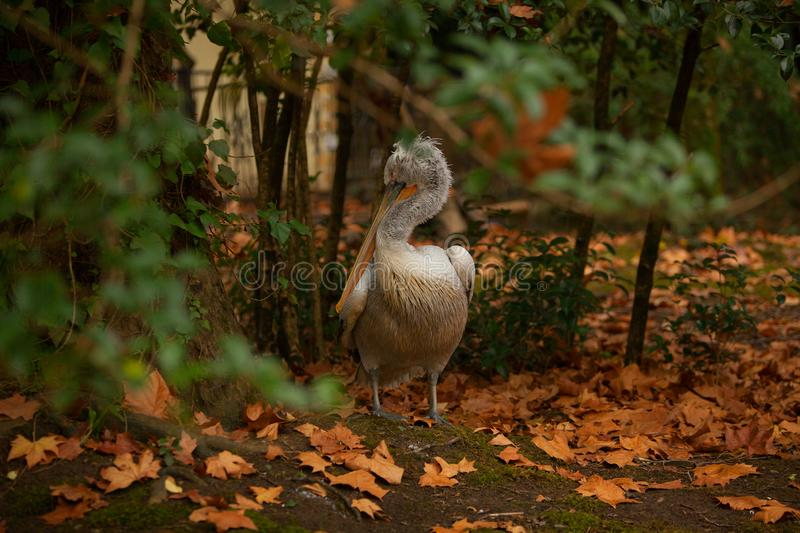 Beautiful cute pelican stands on  grass in autumn in  forest. Beautiful cute pelican stands on the grass in autumn in the forest stock image