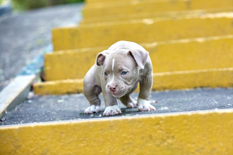 Beautiful and cute puppy American bulli on a concrete background, urban stairs. Concept first experience, first steps in. Life stock photo