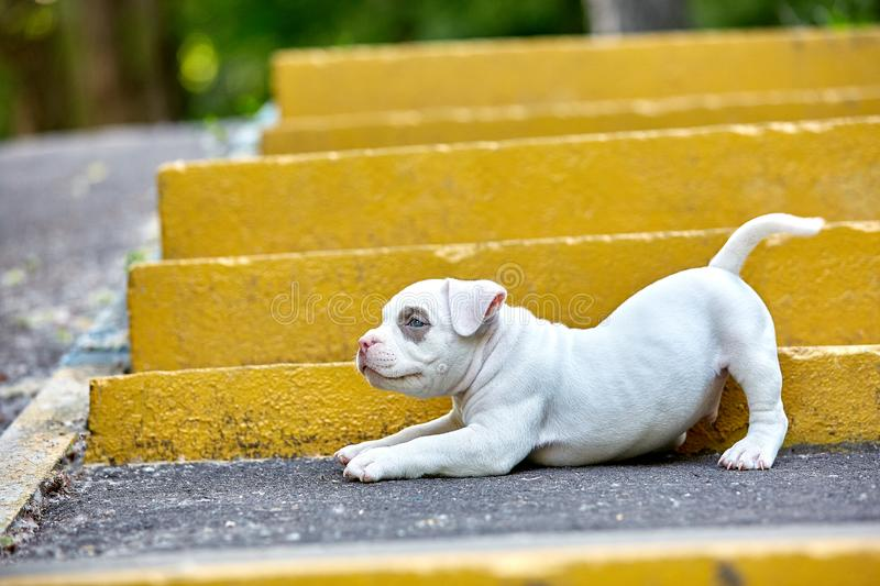 Beautiful and cute puppy American bulli on a concrete background, urban stairs. Concept first experience, first steps in. Life stock photos