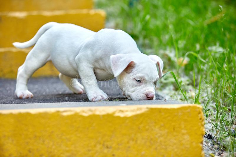 Beautiful and cute puppy American bulli on a concrete background, urban stairs. Concept first experience, first steps in. Life stock images