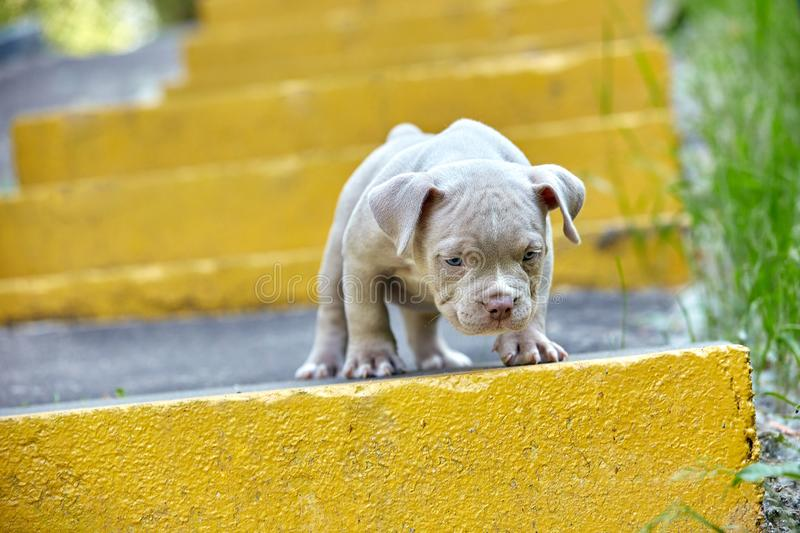 Beautiful and cute puppy American bulli on a concrete background, urban stairs. Concept first experience, first steps in. Life royalty free stock photography