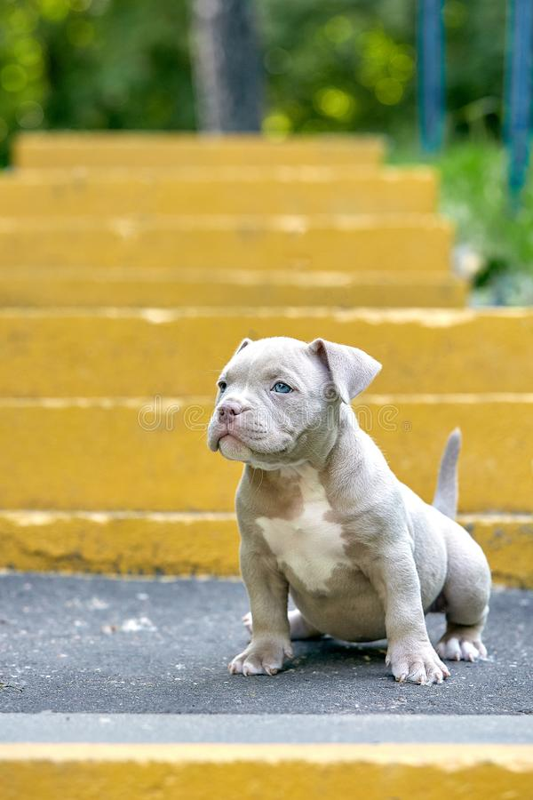 Beautiful and cute puppy American bulli on a concrete background, urban stairs. Concept first experience, first steps in. Life royalty free stock photos