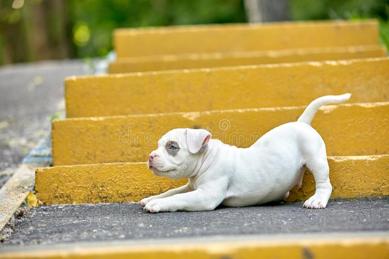 Beautiful and cute puppy American bulli on a concrete background, urban stairs. Concept first experience, first steps in. Life stock photography