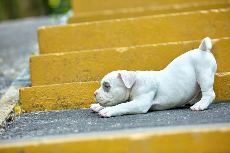 Beautiful and cute puppy American bulli on a concrete background, urban stairs. Concept first experience, first steps in. Life royalty free stock images
